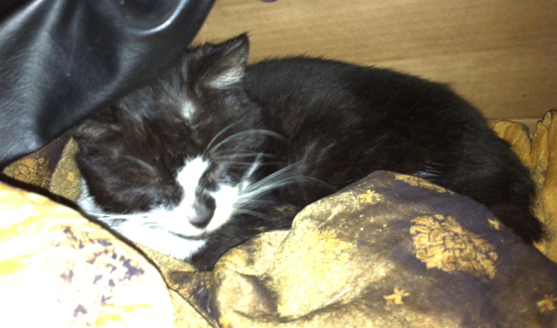 Found Black And White Cat Peterborough